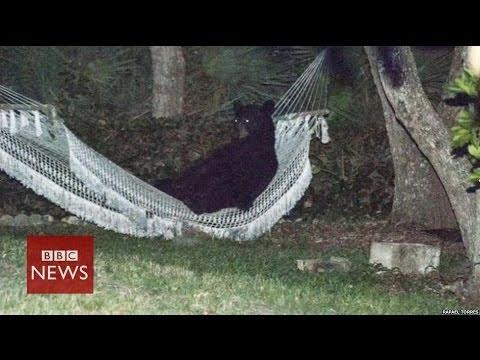 Bear in a hammock relaxing –  BBC News