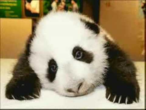 Crazy Panda Bear