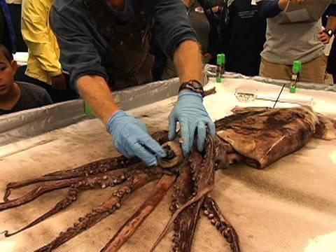 Dissecting the Humboldt Squid