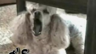 Funny Animals – Funny Home Videos – The Singing Dog – Must Watch