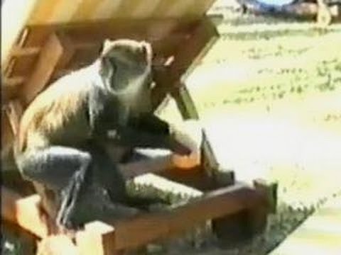 Funny Animals – Funny Home Videos – Funny Stealing Monkey Video