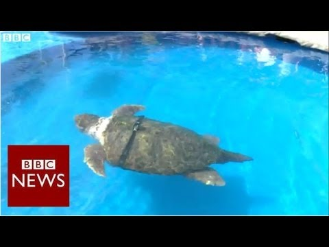 Is this World Cup turtle the new Paul the Octopus? – BBC News