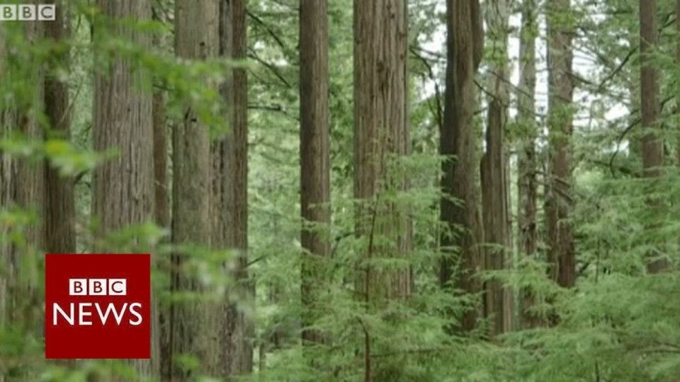 Killing California's redwood trees for drug money – BBC News