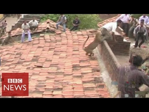 Leopard bites man's behind in India – BBC News