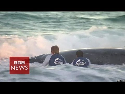 Rescuers free beached whale in Australia – BBC News