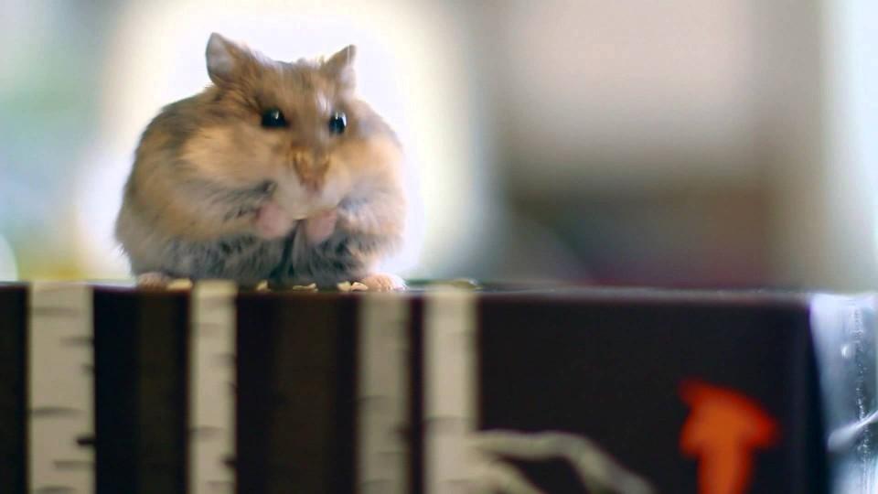 "Russian Dwarf Hamster – ""Chicken"" Eating her pumpkin seed"