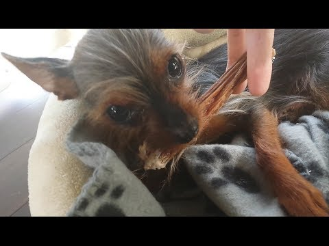 Sassy Puppy Protects Her Treat | Cute Dog Vajiggles