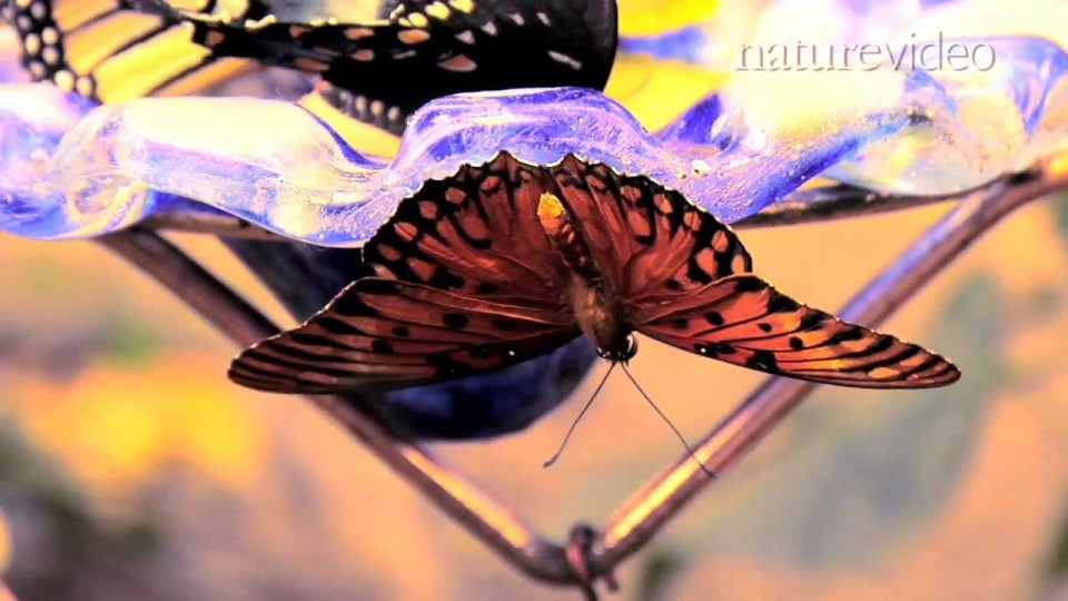 Supergene controls butterfly mimicry – by Nature Video