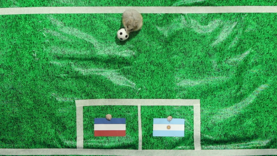 Tiny Hamster Predicts 2014 World Cup Semi-Finals – Argentina vs Netherlands