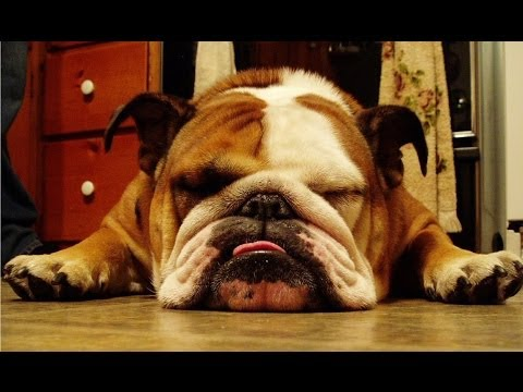 Ultimate Bulldog Video Compilation 2013 [NEW HD]