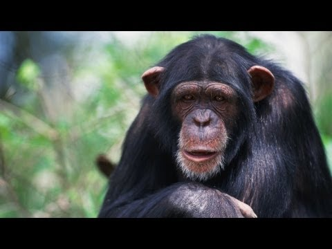 Why chimps don't play baseball