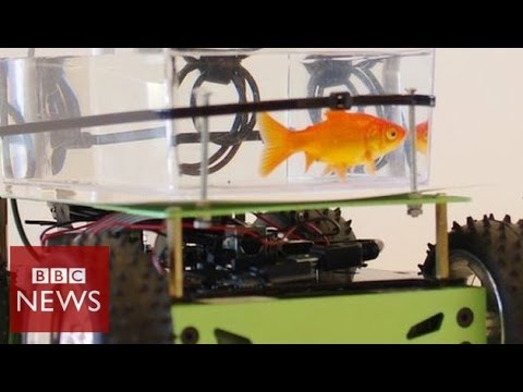 Yes, this fish can 'drive'! BBC News