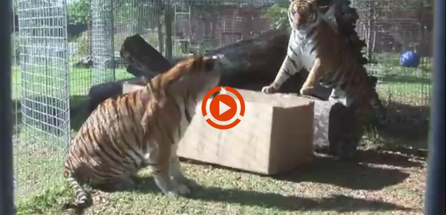 Se diamo una scatola ad un felino cosa succede ?