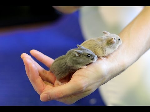 Meet Porkchop and Dumptruck – Cute Hamsters Having Fun
