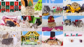 Cute Hamsters: Best of 12 Days of Christmas – Compilation