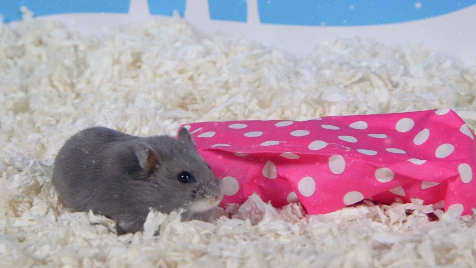 Day 5: A Present for Porkchop – Cute Hamsters: 12 Days of Christmas