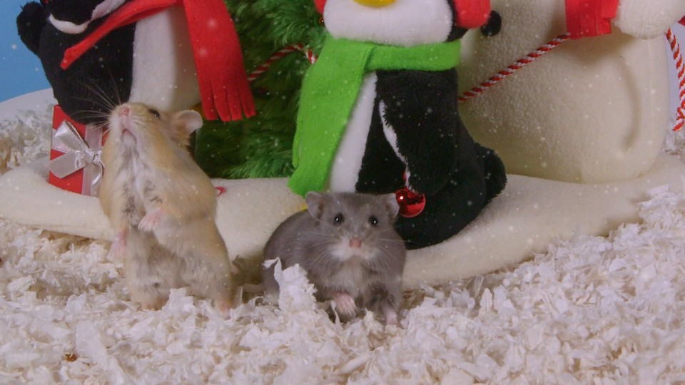 Day 6: Christmas Magic Trick – Cute Hamsters: 12 Days of Christmas