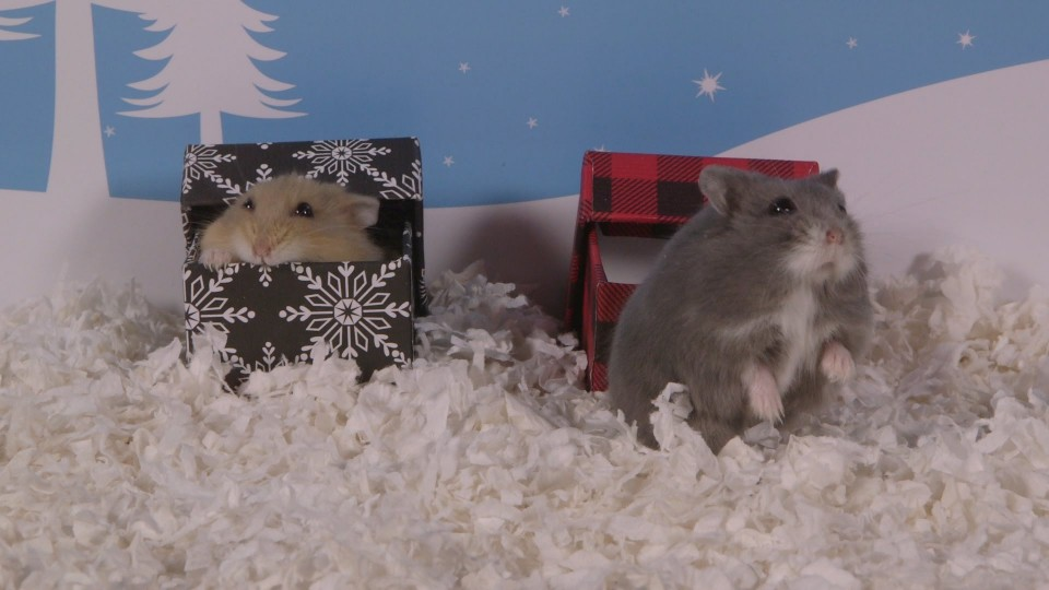Day 8: Hamsters Love Boxes Too – Cute Hamsters: 12 Days of Christmas