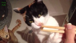 Funny Cats Eating with Chopsticks Compilation 2015 [NEW HD]