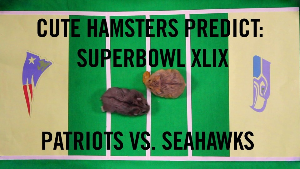 Superbowl XLIX Prediction :Cute Hamsters