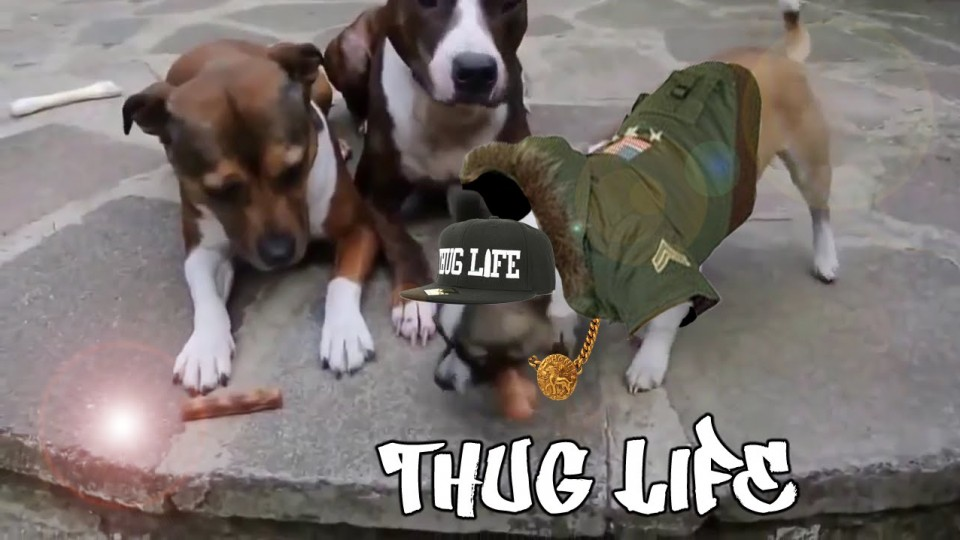 Cats Dogs and Babies Thug Life Compilation 2015 [NEW HD]